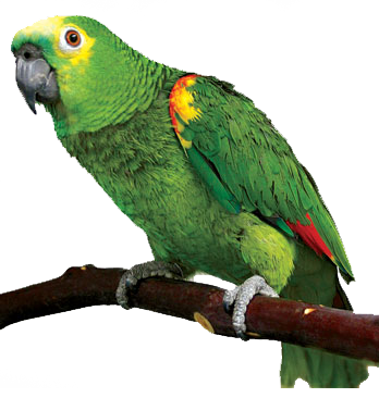 Parrot HD PNG - 93060
