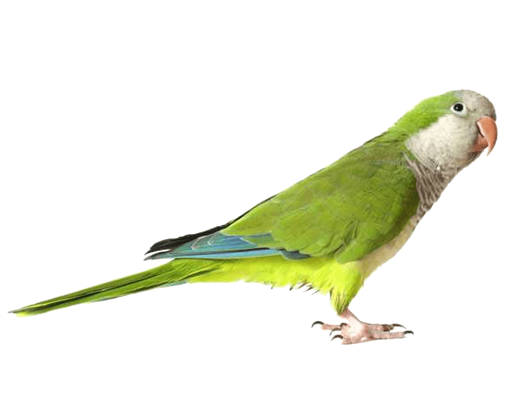 Green Parrot Png Images Download PNG Image - Parrot HD PNG