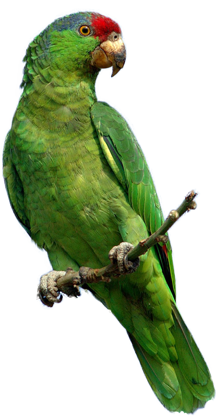 Parrot HD PNG - 93053