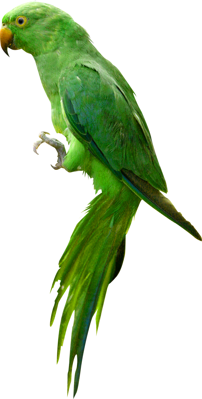 Parrot HD PNG - 93062