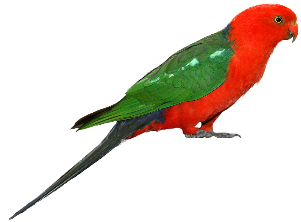 Parrot HD PNG - 93059