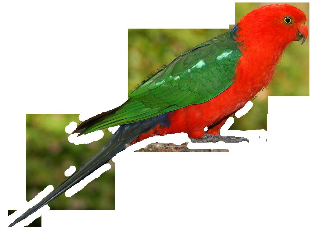 Parrot PNG Clipart - Parrot HD PNG