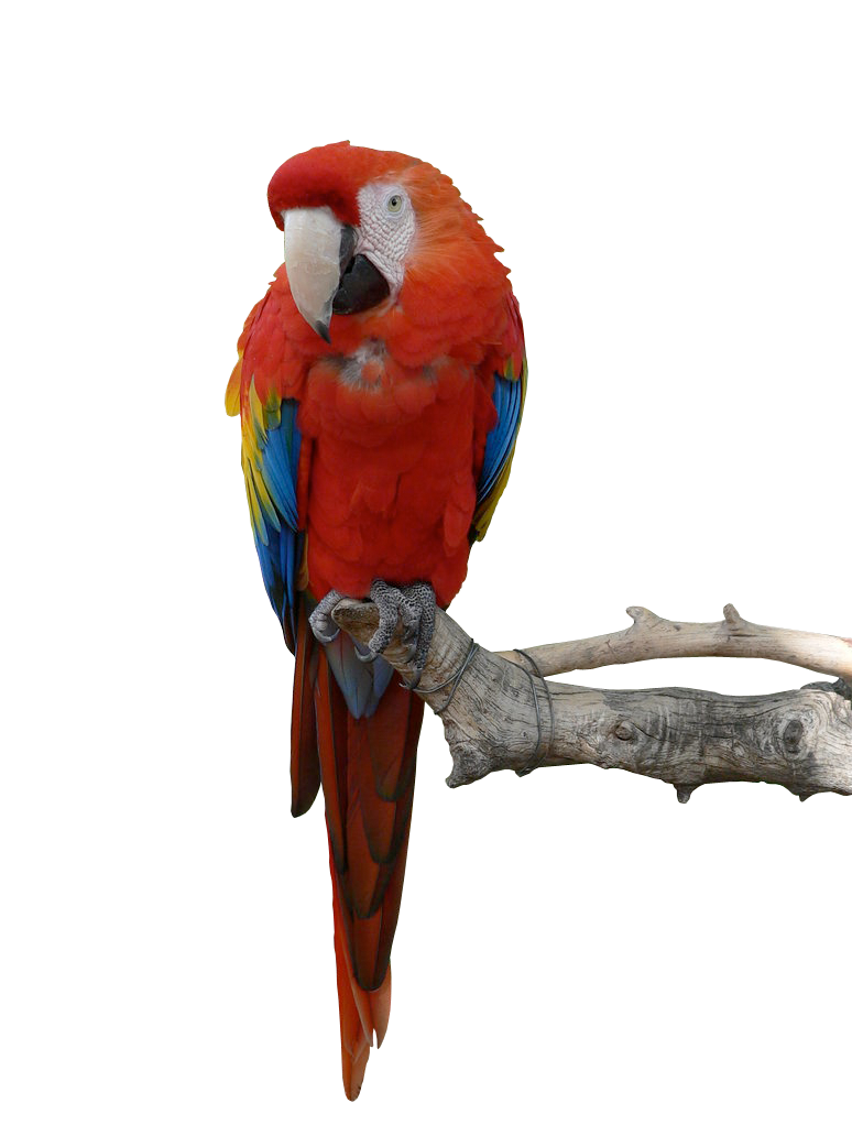 Parrot HD PNG - 93056