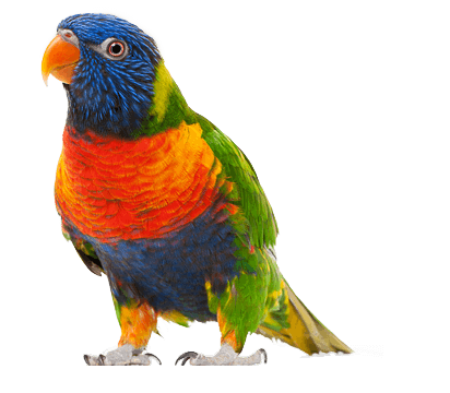 Parrot HD PNG - 93055