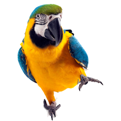 Parrot HD PNG - 93058