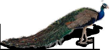 Peacock HD PNG - 95861