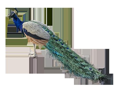 Peacock HD PNG - 95857