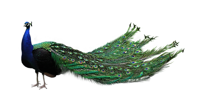 Peacock HD PNG - 95860