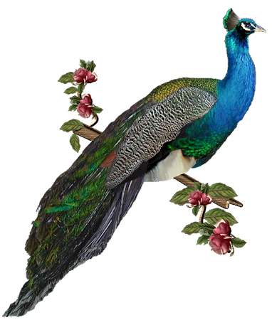 Peacock HD PNG - 95866