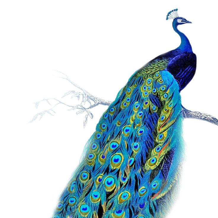 Peacock HD PNG - 95864