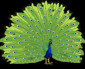 Peacock PNG HD - 122890