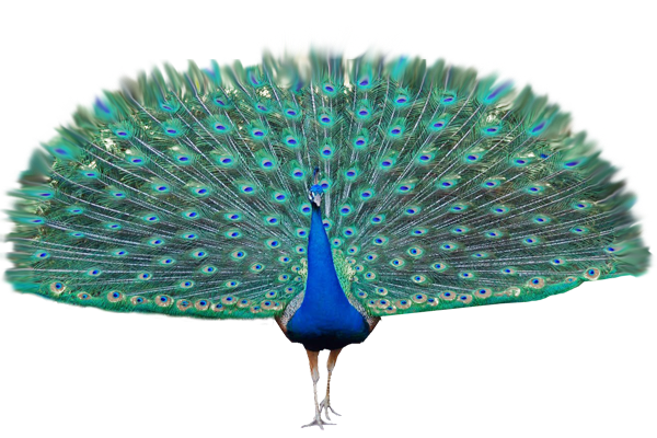 Peacock PNG HD - 122893