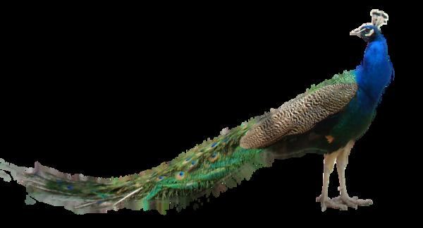 Peacock PNG HD - 122885