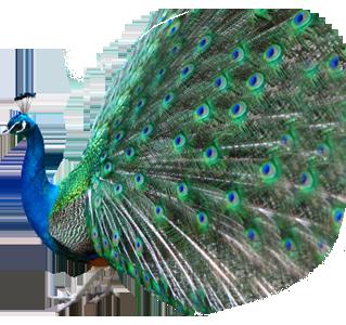 Peacock PNG HD - 122894