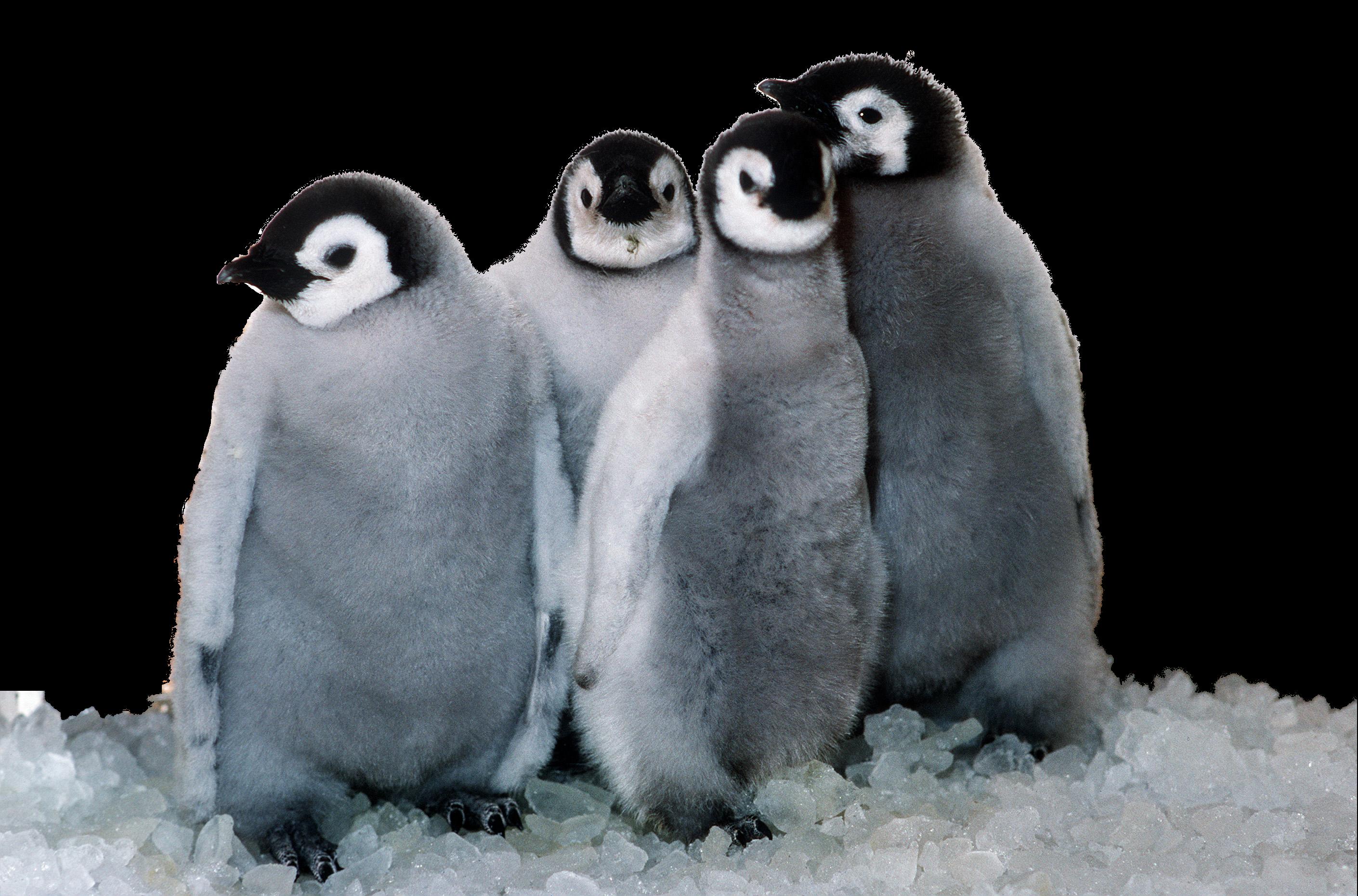 Penguin HD PNG - 92444