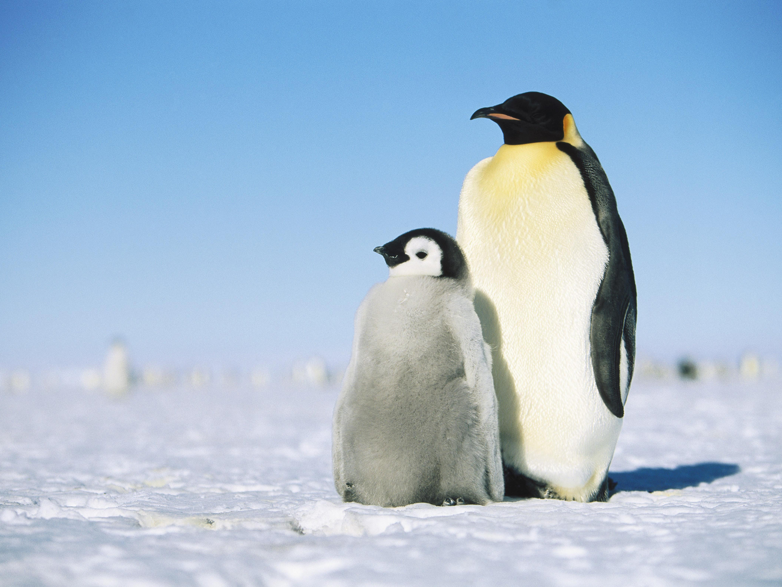Penguin HD PNG - 92446