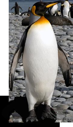 Penguin PNG - 1201