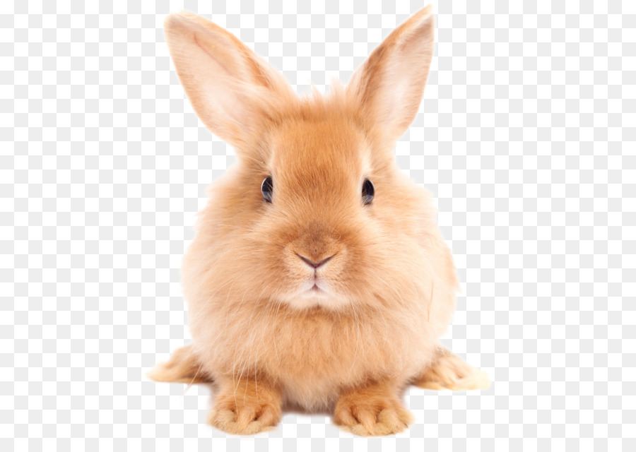 Dog Cat Rabbit Pet Dictionary - Easter Rabbit PNG HD - Pet PNG HD