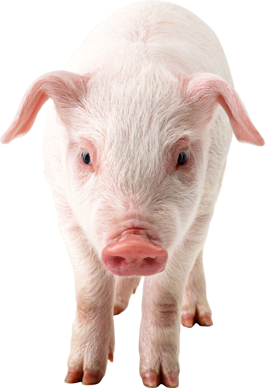 Animal - Pig HD PNG