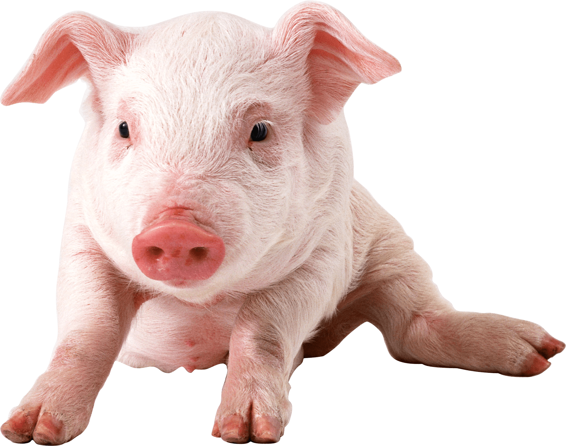 Baby Pig Sitting - Pig HD PNG