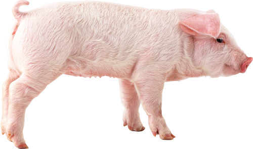 Download PNG image - Pig Png Picture - Pig HD PNG