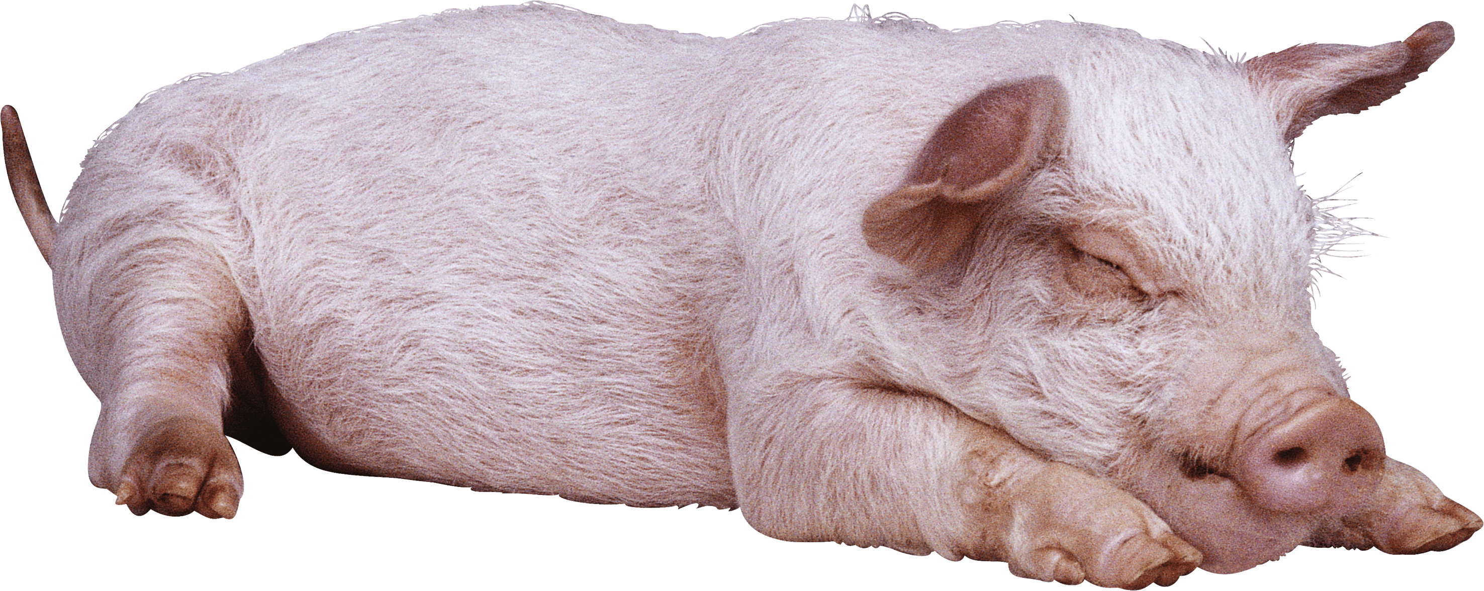 Pig PNG - 25899