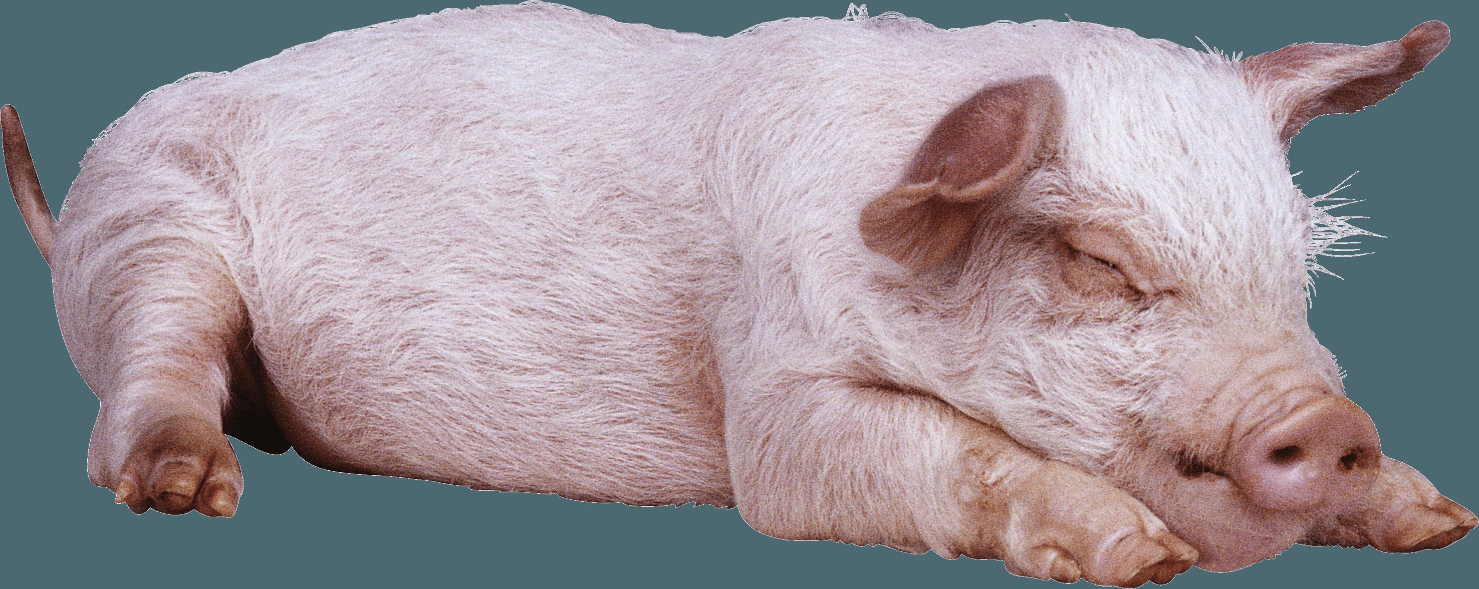Pig PNG-PlusPNG.com-2952 - Pig PNG