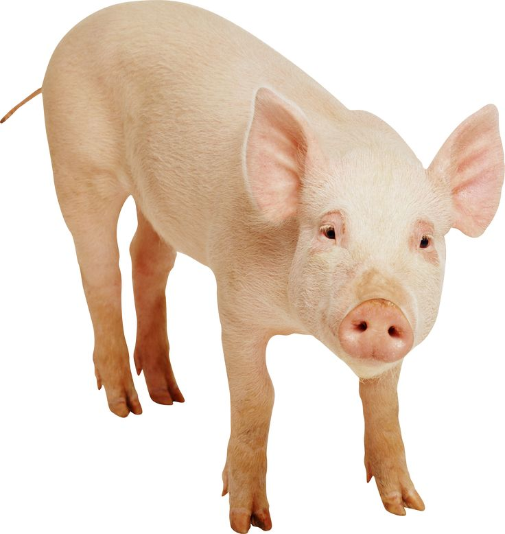 Pig PNG - 25898