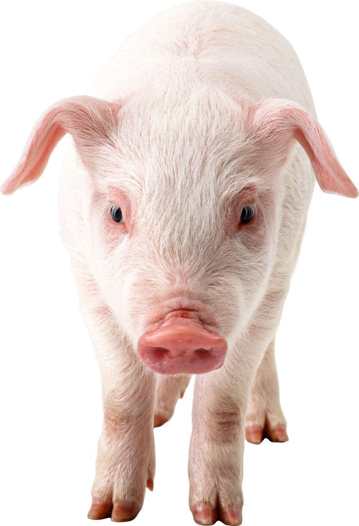 Pig PNG - 7811