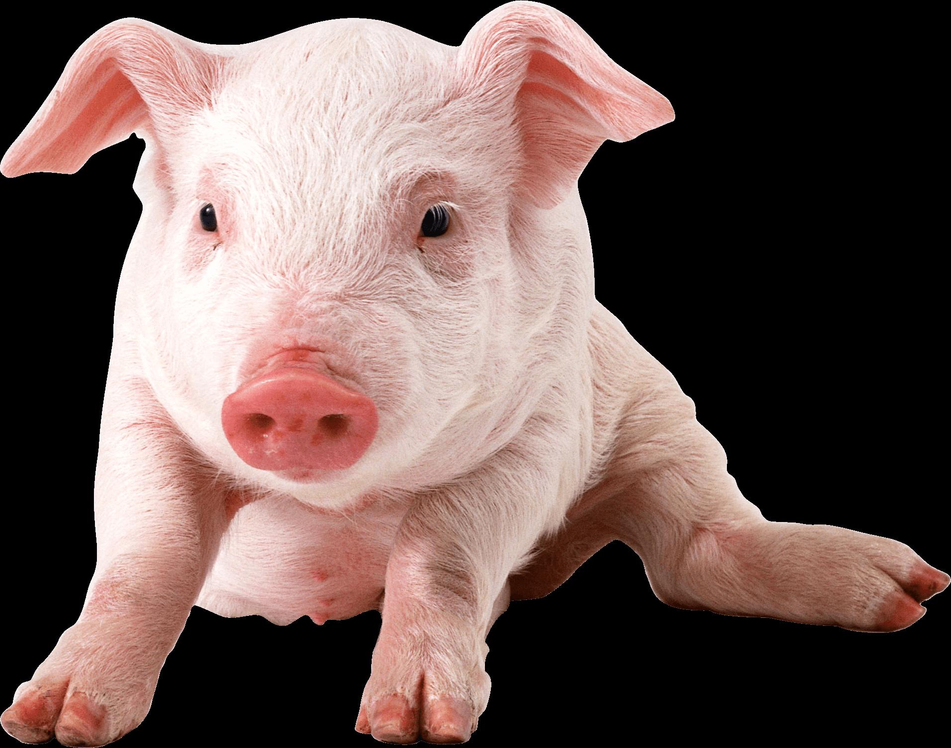 Baby Pig Sitting - Pig PNG