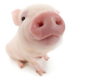 Pig PNG - 25893