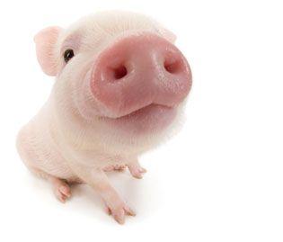 Foreshortening - Pig PNG