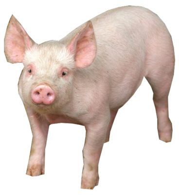 Pig PNG - 25894