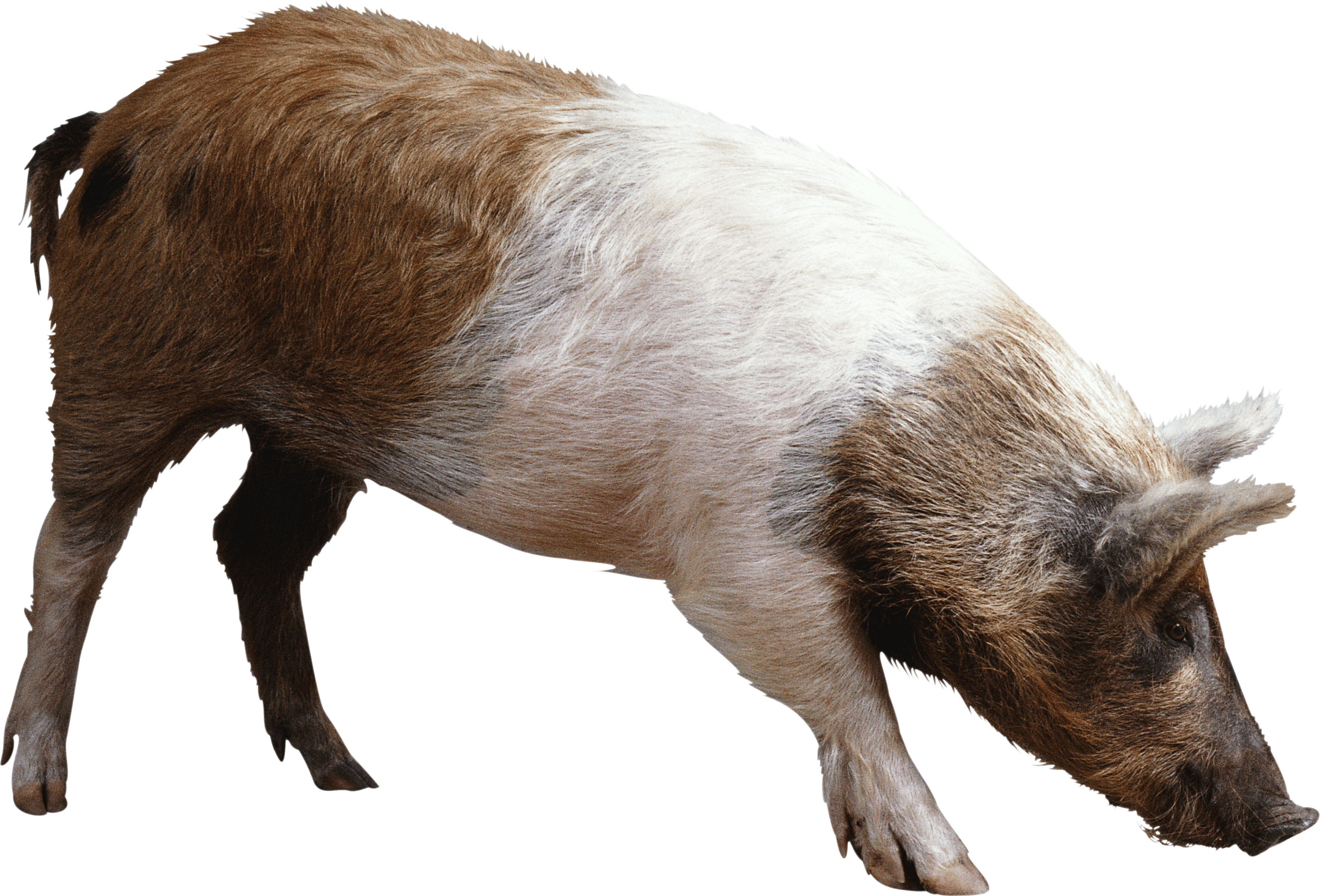 Pig PNG - 25886