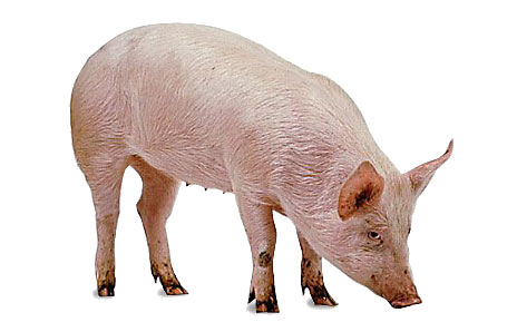 Pig PNG - 7807