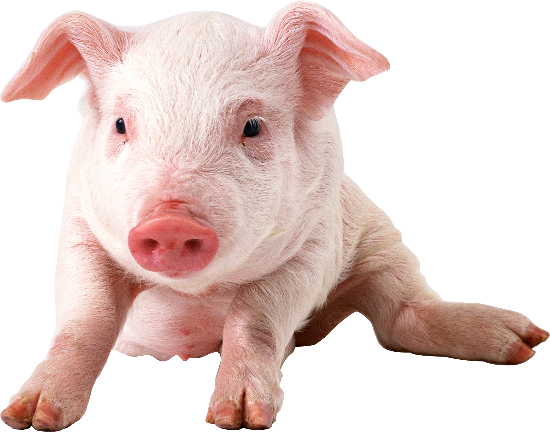 Pig PNG - 7819