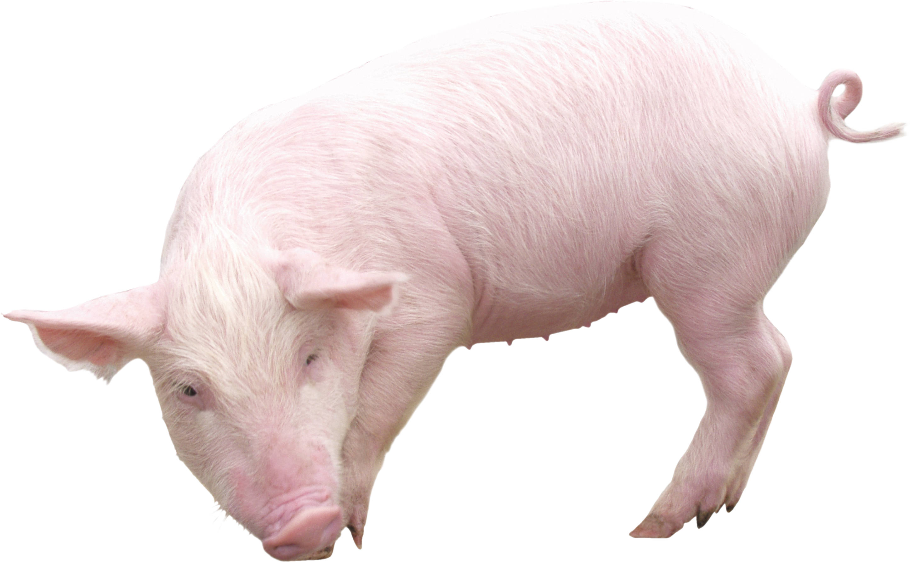 Pig PNG - 7803