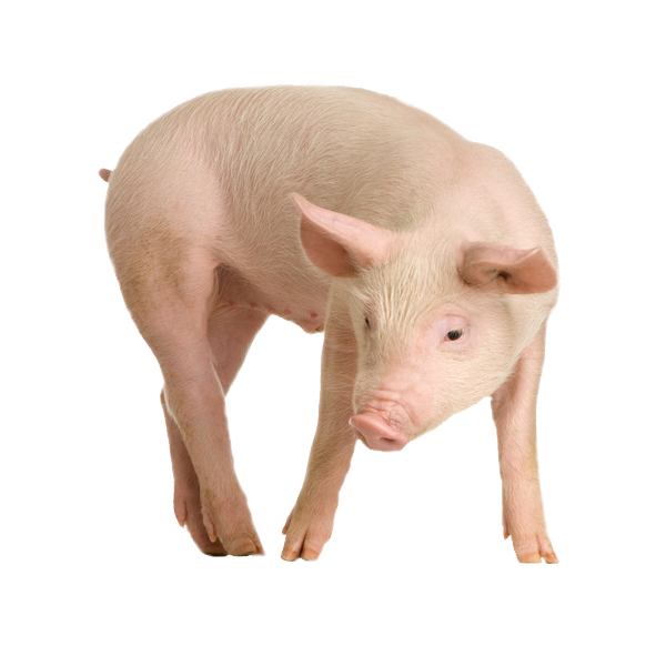 Pig PNG - 7813