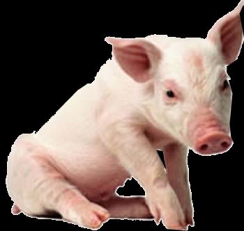 Pig PNG Pic - Pig PNG