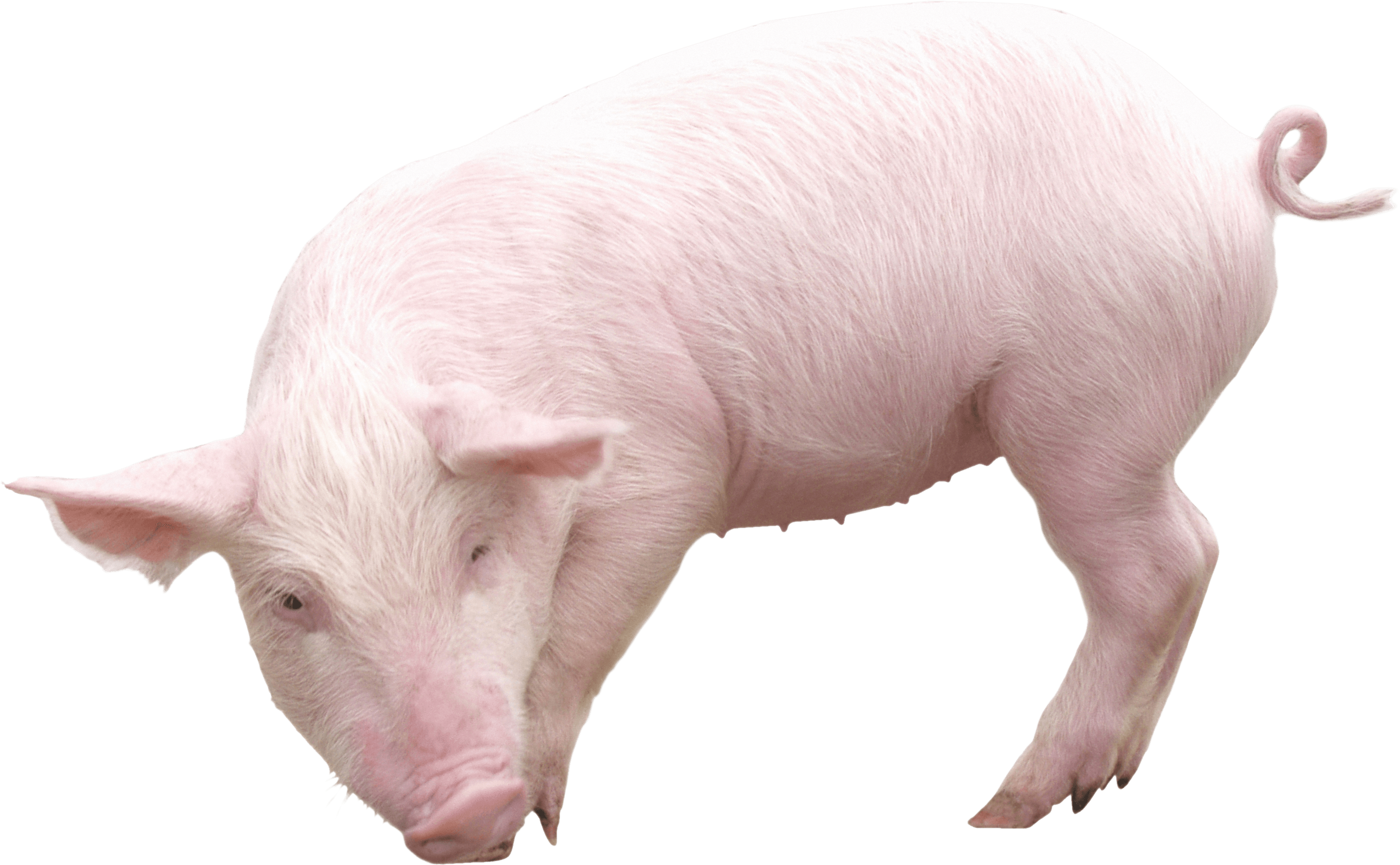 Pig PNG - 25891