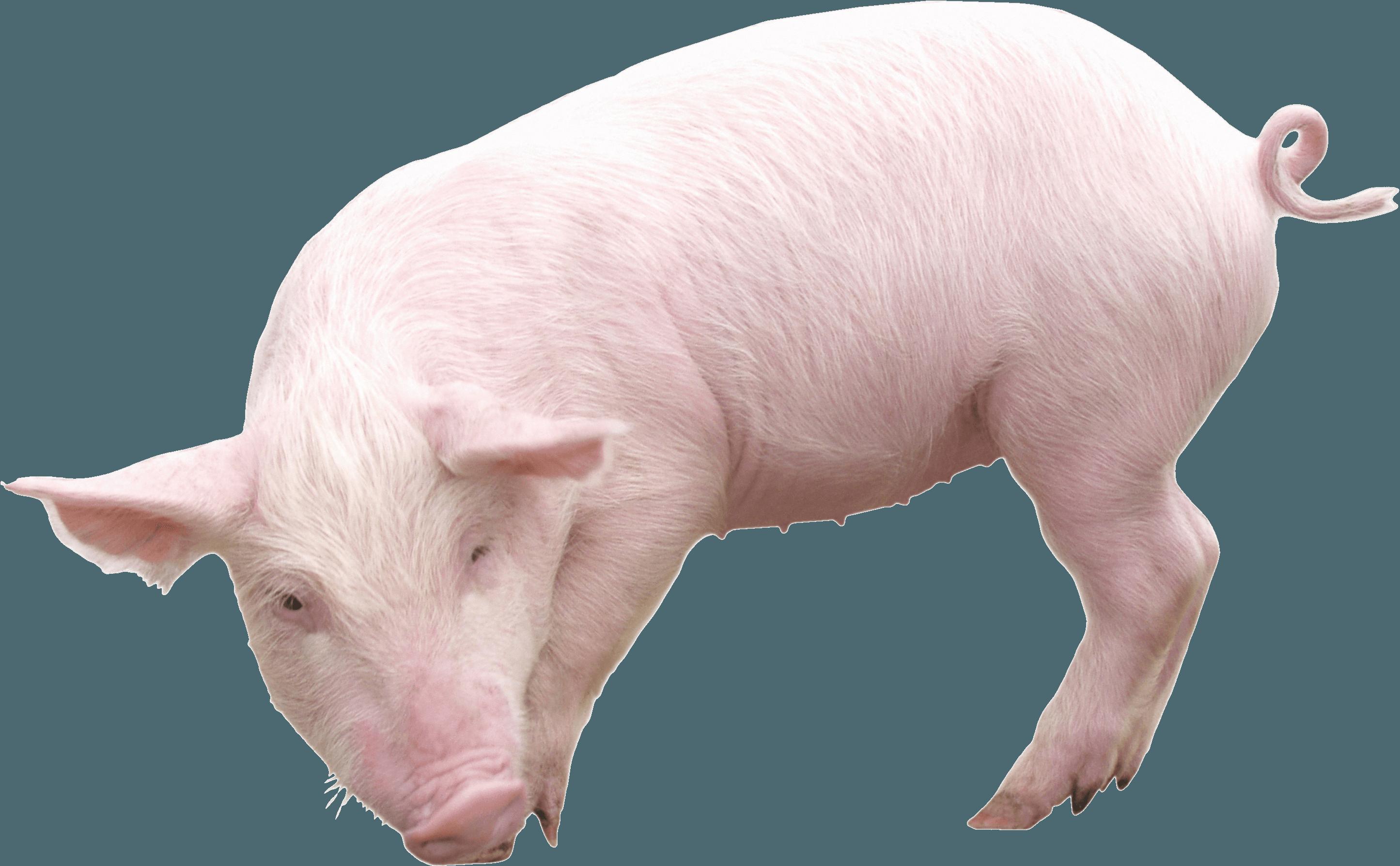 Pig PNG Transparent image - Pig PNG
