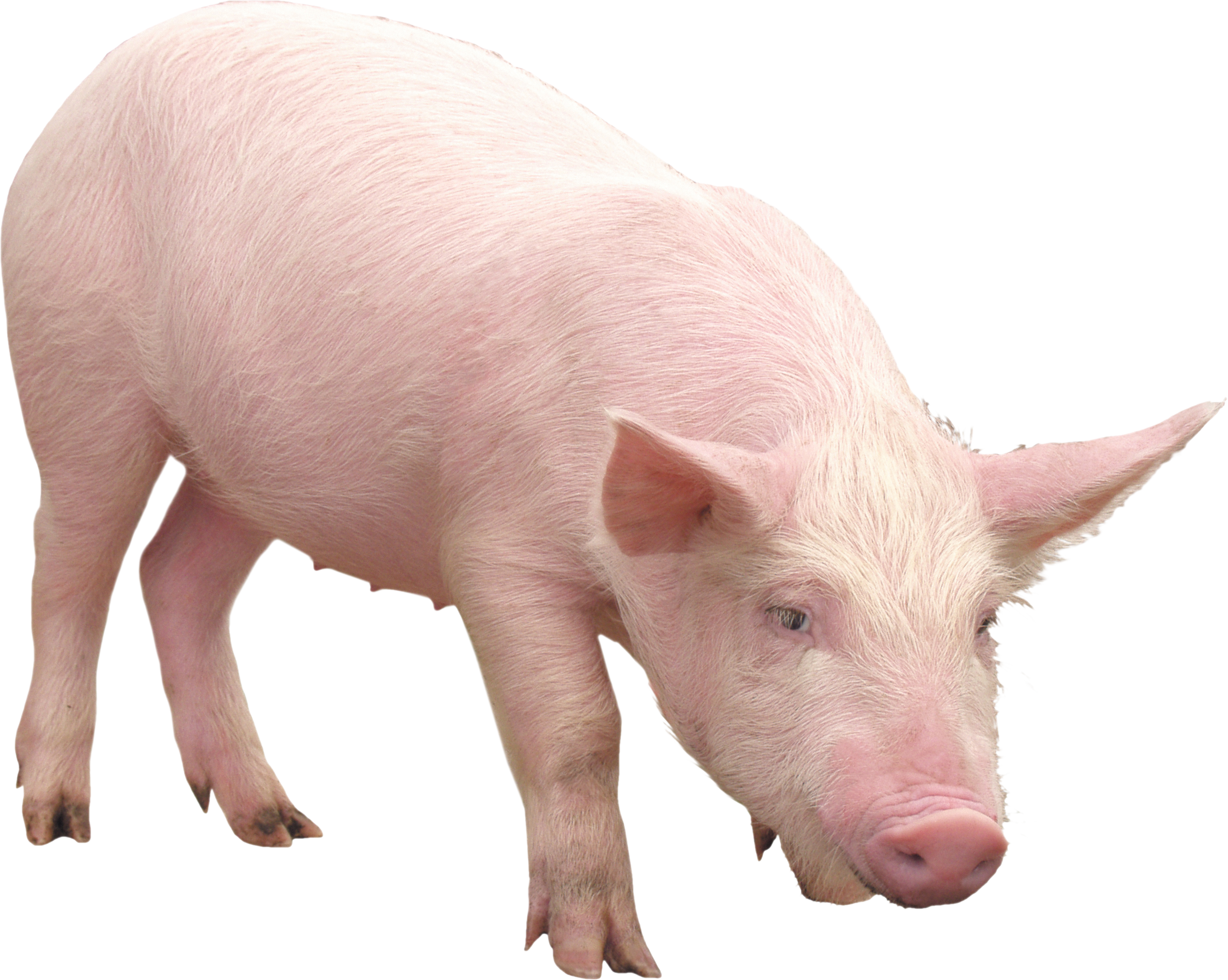 pink pig PNG image - Pig PNG