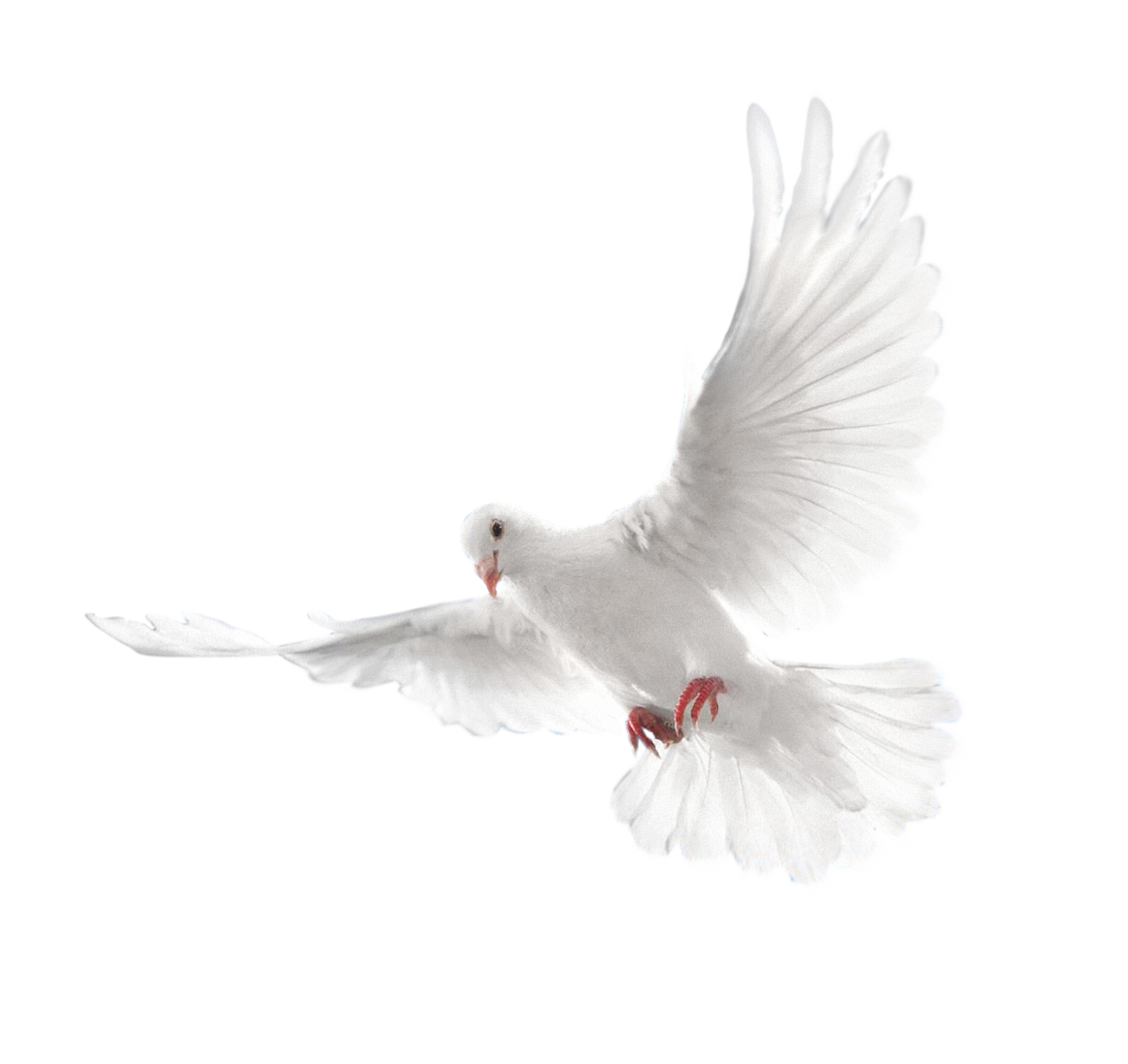 Pigeon - Pigeon PNG