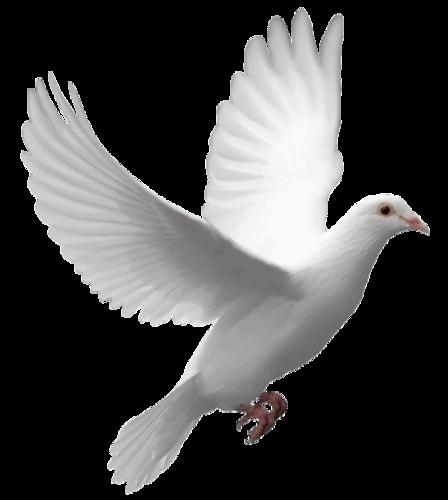 Pigeon PNG - 772