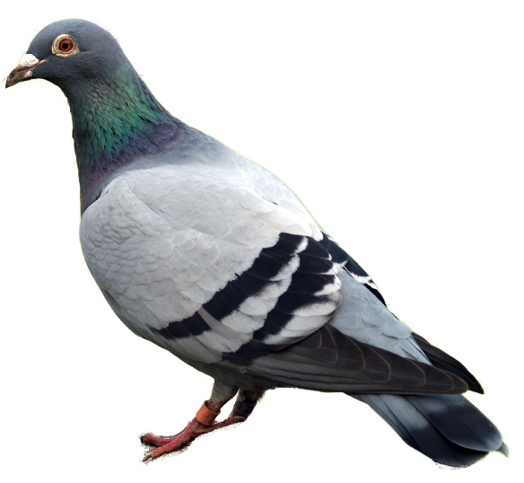 pigeon PNG image - Pigeon PNG