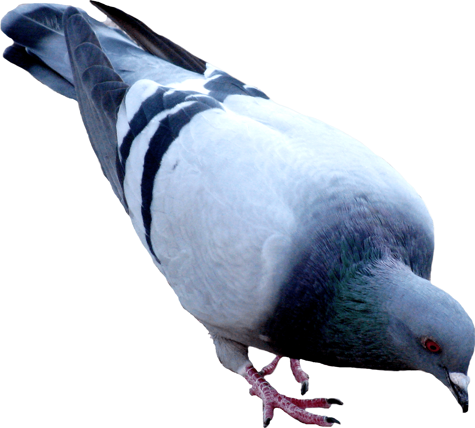Pigeon PNG - 773