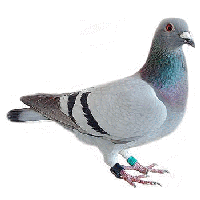 Pigeon PNG - 780