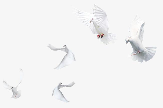 Pigeons HD PNG - 90000
