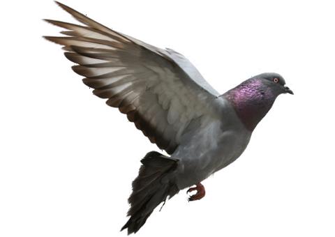 Pigeons HD PNG - 90002