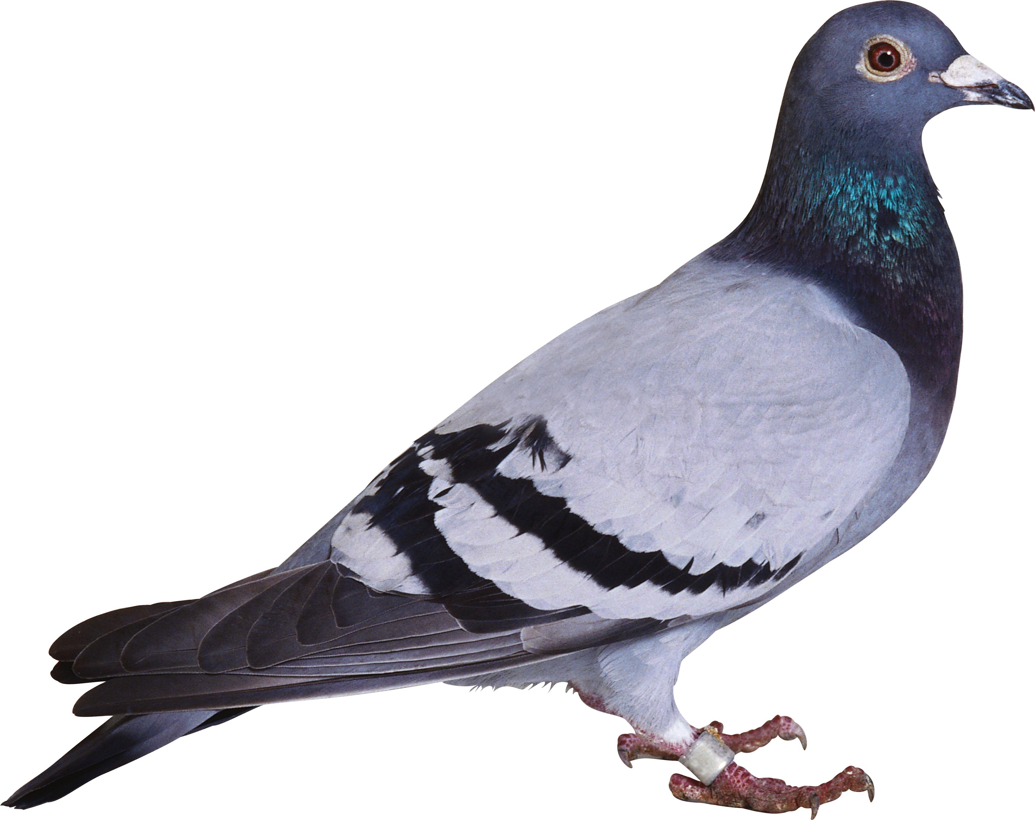 Pigeons HD PNG - 89998